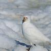 Snowy sheathbill - a superb scavenger.