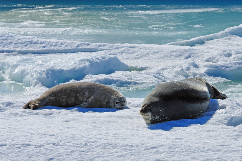 A Weddell seal with her pup.  Along with emperors, these are the only animals that call Antarctica home year-round.