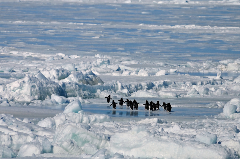 A group of Adelie penguins, far from home, wandered by.  These are the classic black and white penguins, much smaller than emperors, and always in a hurry.