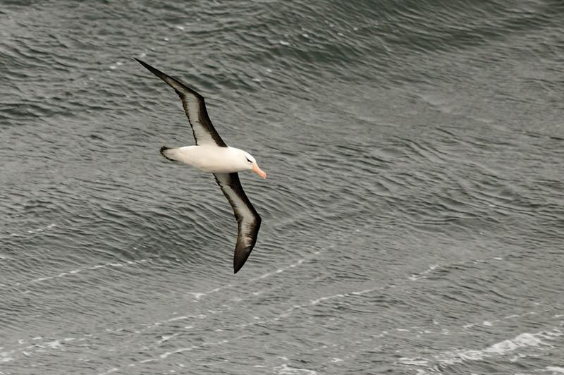 Same black-browed albatross