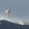 Arctic tern.  This smallish bird has the longest migration path of any species on earth.....approximately 44,300 miles each year!  Yes, you read that right.  And if they live an average life, they do this for 30 years in a row.  Now that's impressive.