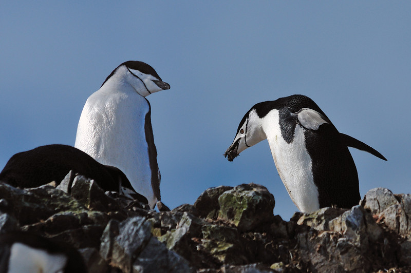 Males bring nesting material to females in hopes of enticing them to mate.