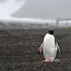 A lone gentoo penguin.