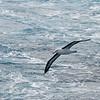 Underside of the black-browed albatross.