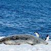 Weddell seal with friends