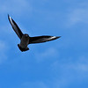 A skua (predator bird).