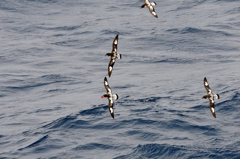 This is a sad photo.... 3 cape petrels are chasing the one with a red plastic bottle cap in its beak.  Ocean trash has reached all the way to Antarctica.