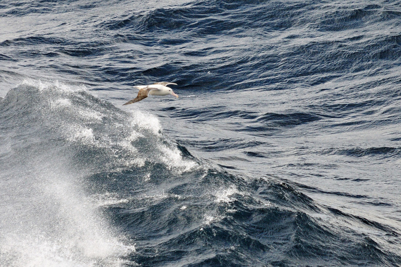 Royal albatross, second only to the wanderer in size.