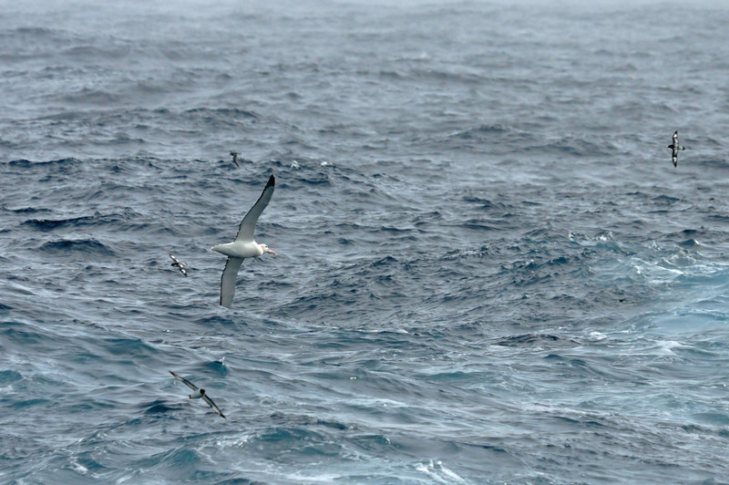 So, just how big is a wandering albatross, the world's largest flying bird?  This isn't a great photo, but at least it provides perspective.  The wanderer's wingspan can reach 12 feet ... the small birds are cape petrels, each with about a 2.5 ft wingspan. In my 2007 Antarctica journal, I discussed how endangered the wanderer has become.  In the past 3 years, the damage to the species may have begun to level off due to improved fishing practices, particularly with long lines.  With a lot more work and education, hopefully these magnificent birds will survive.