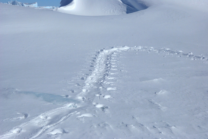 Penguin tracks.