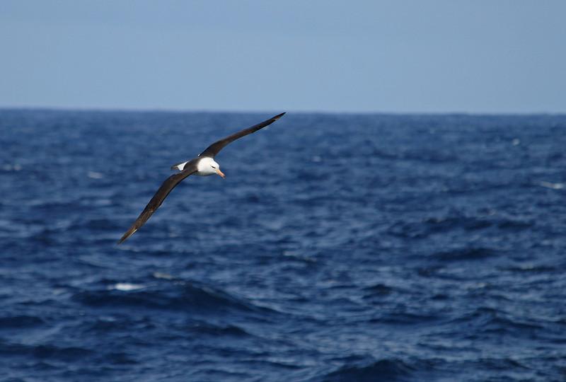 Black-browed albatross.