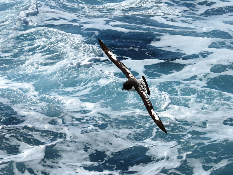 Cape petrel.  After leaving the Adelies, we headed back into Drake's Passage for our 2-day trip to Ushuaia.