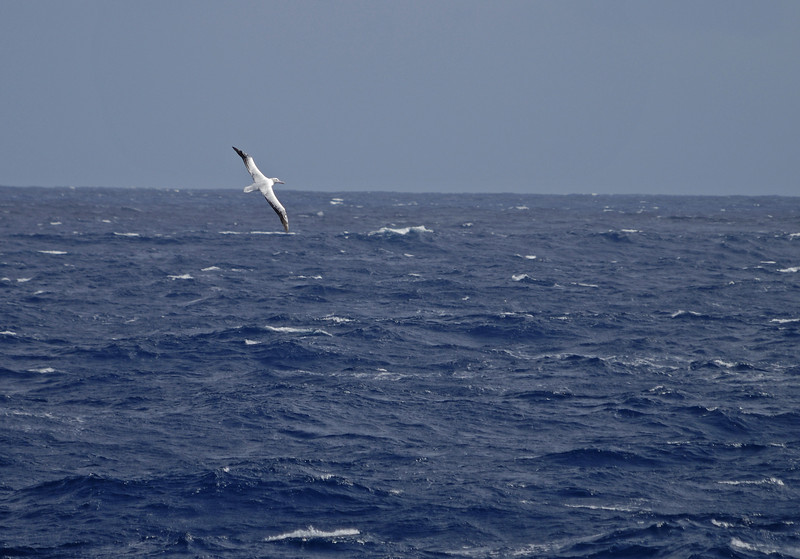 We're in Drake's Passage now, the most unruly stretch of water in the world.  It will take us 2 days to reach calm water, but the good news is amazing birds will be with us the entire way.  This is a wandering albatross, the largest flying bird in the world with a wingspan of approximately 12 feet.  This one is probably close to 40 years old.  As they age, their bodies turn from speckled brown to pure white. The older ones also learn to stay far away from the ships they follow.  This is when I started craving a longer lens.
