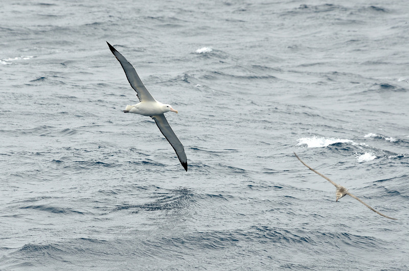 Wandering albatross are the largest flying birds in the world.  Their wingspans can reach up to 12 ft.  Imagine that.  The other bird in this photo is a 6 ft giant petrel. As you can see, the petrel is dwarfed by the wanderer.  Tragically, long-line fishing has seriously endangered all albatross, but particularly the wanderers.  Their numbers were falling by over 5% a year until just the past year or two.  There's some small light at the end of the tunnel now, but the road back for this most amazing bird is treacherous.  The problem for wanderers is their very long breeding cycle.  They can raise only 1 chick every 3 years or so.