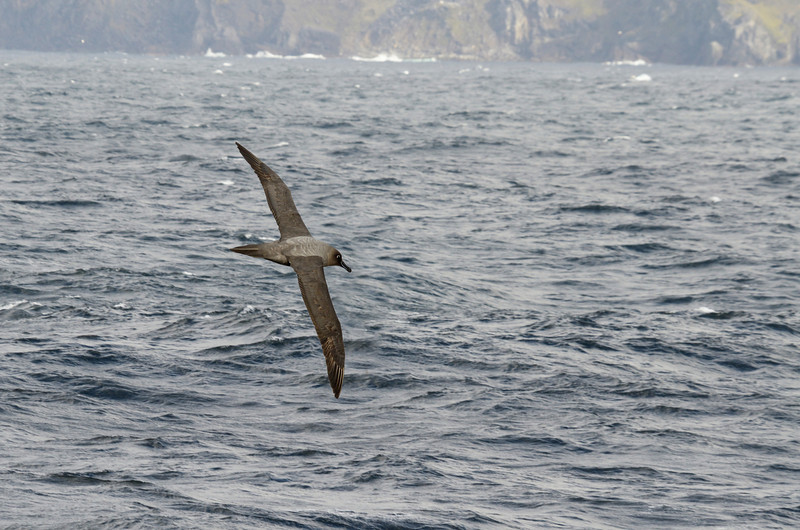 Sooty albatross, one of the most beautiful seabirds.