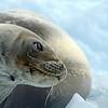 Crab eater seal