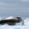 Crab-eater seals