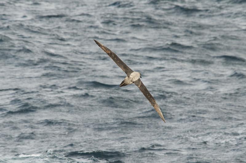 Sooty albatross from the rear.