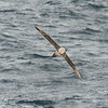 Sooty albatross from the rear.