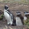 Magellanic penguins nest in burrows.