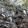 Macaroni penguins, so named for their conspicous ornamentation (think Yankee Doodle).