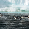 Adelie penguins.  These are the classic black-and-white penguins we all grew up loving.