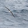 Black-browed albatross