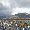 Unlike other penguins, kings can breed year-round, although they favor late spring.  Most chicks we saw were about the same size (the brown furry things in this photo).