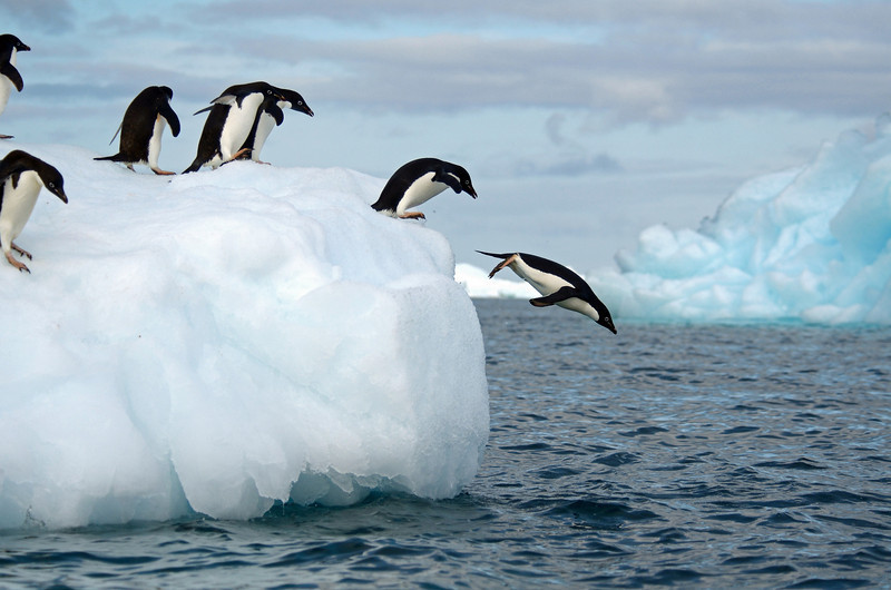 This was my 5th trip to Antarctica.  I've seen penguins leap from icebergs before, but have never been able to capture it.