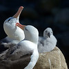 While the chicks are small, albatross parents take turns staying at home.  An adult might spend several days feeding at sea.  When he or she returns, the parents renew their bonds in an elegant ritual with much bowing and preening.