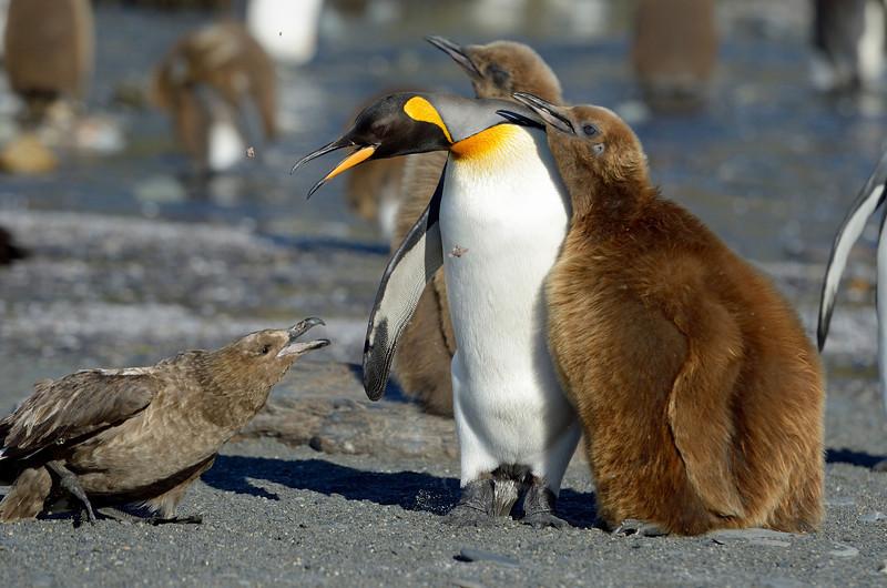 Skua and king penguin having words.