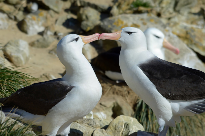 New Island is home to a large, mixed rookery.  These are black-browed albatross.  Rockhopper penguins and blue-eyed shags also nest here.  What a great first stop!