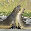 Elephant seals dominate the beach here.