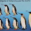 Seems like a good time to introduce you to Antarctic penguins.  We saw all of these - hundreds of thousands of them.