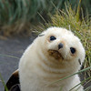 Leucistic fur seal pup.  So sweet-looking, but like the rest of them, downright mean.
