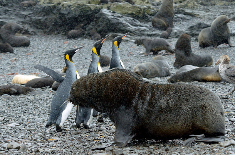 Before reaching the wanderers, we had to run the fur seal gauntlet all the way from the beach to the top of the cliff.