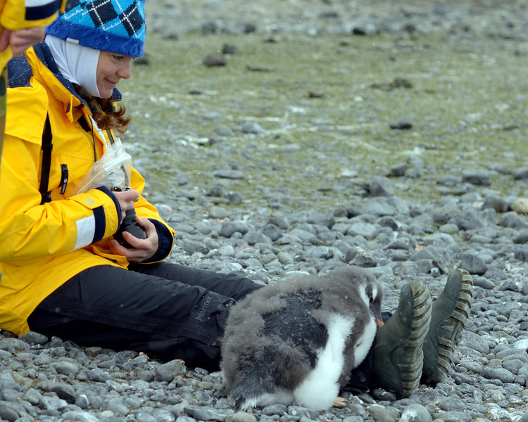 This is the penguin whisperer.... the same woman who had a king penguin chick fall asleep on her leg earlier in the trip.