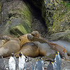 Elephant seals and molting kings