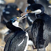 Blue-eyed shags greeting each other.