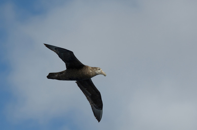 Giant petrel (up to a 7 ft wingspan)