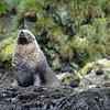 Fur seal beachmaster