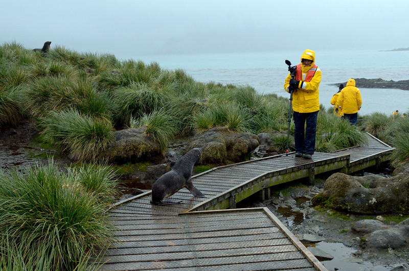 It was quite nerve-wracking walking up to the wanderers, then down again.  Fur seals were hidden in the tussoc.  We could hear them, but only saw them when they launched an attack.