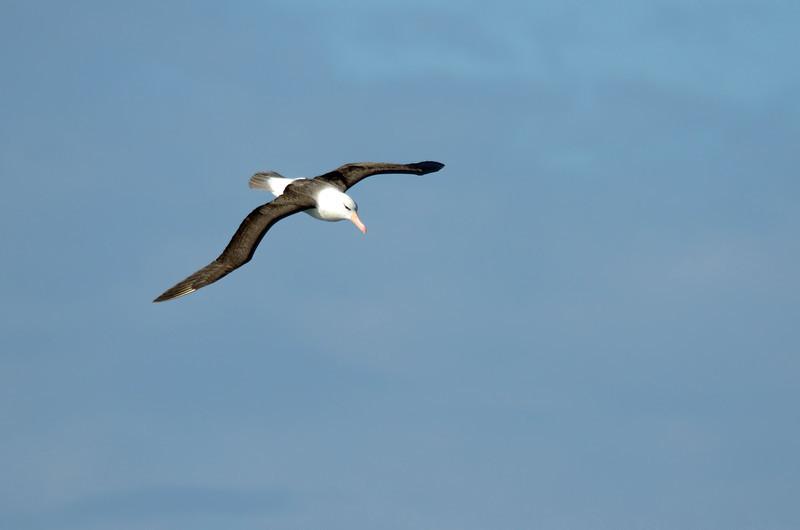 Black-browed albatross (3 ft wingspan)