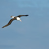 Black-browed albatross (3 ft wingspan)