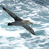 White-chinned petrel (similar in size to the giant petrel)
