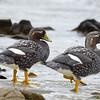 Flightless steamer ducks