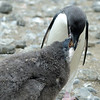 The chick is about 1/3 larger than the parent.  This is common with penguins.