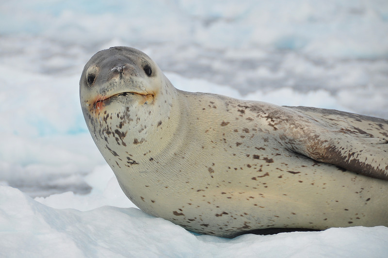 Sami took this excellent photo as well as the next one.  Up close and personal with a leopard seal.