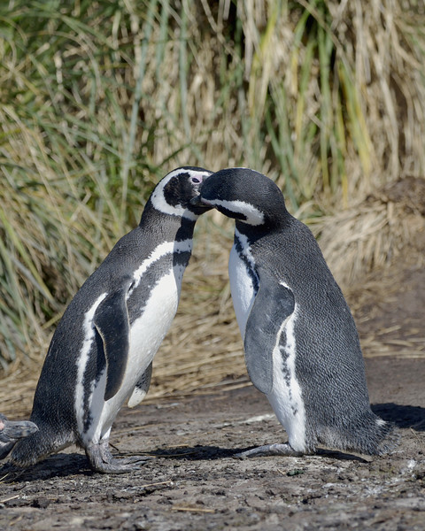 Magellanic penguins preening each other.