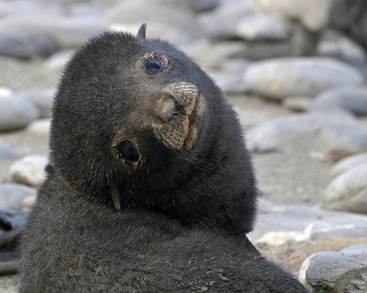 Speaking of fur seals.... this sweet-faced little pup would just as soon rip your arm off as look at you.  They're the most aggressive animals I've ever encountered.